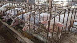 Minagri anuncia negociación con China para el ingreso de cerdo peruano