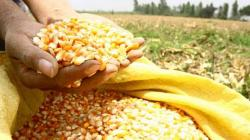 Minagri coordina venta de maíz amarillo duro de pequeños productores a la empresa Backus