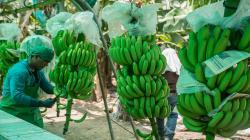 Minagri incorpora variedades de banano orgánico de alta calidad genética con resistencia a Fusarium 4 tropical