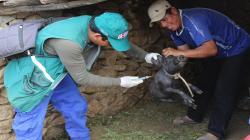 Minagri supera meta de vacunación contra la Peste Porcina Clásica en Ancash