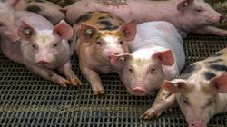 Ministros de Agricultura de las Américas comprometen acción coordinada para combatir la Peste Porcina Africana