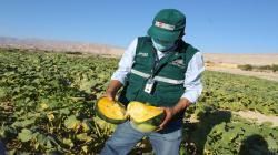 Moquegua: certifican más de 1400 toneladas de zapallo