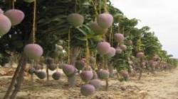 Mosca de la fruta peruana no se ha reportado en Europa en los últimos 30 años
