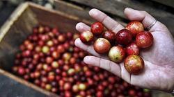 Nueva semilla de camu camu multiplicaría su productividad y exportación