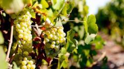 Nuevas variedades de uva que exige el mercado pueden ser propensas a enfermedades imprevistas