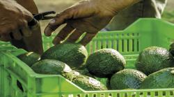 Pacific Produce cumplió su programa de paltas