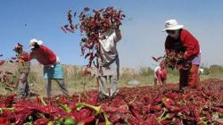 Páprika (pimentón), tomate y uva presentan los mayores niveles de contaminantes