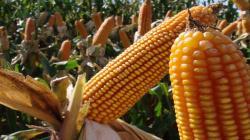 Paraguay preservó 500 mil hectáreas gracias a mayor productividad del maíz transgénico