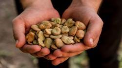 Pequeños productores del Valle Sagrado de los Incas venden 30 toneladas de haba seca palada
