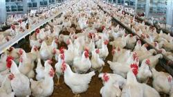 Pérdidas en el sector avícola por pandemia se estiman en S/ 1.600 millones
