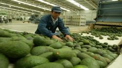 Perú es el principal país abastecedor de palta en Europa