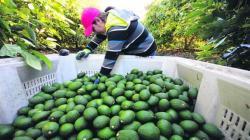 Perú exportó 525 mil toneladas de paltas frescas por US$ 1.046 millones en la campaña 2021