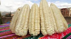 Perú logró exportar maíz blanco del Cusco por US$ 6.6 millones entre enero y septiembre