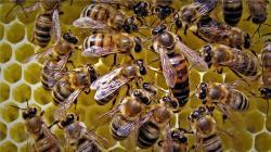 Perú produce cerca de 2.314 toneladas de miel de abeja al año en 300 mil colmenas