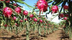 Pitahaya supone nueva oportunidad para la agroexportación