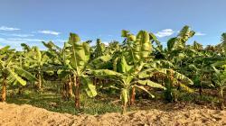 Piura: presentan innovador plan que optimiza riego y potencia la producción de banano orgánico