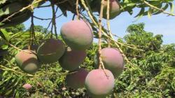 Posponen para el 2021 el XIII Simposio Internacional de Mango