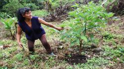 Precio de la coca se desploma en los valles puneños de San Gabán y Sandia