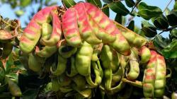 Exportaciones de tara disminuyeron en valor 12.19% en el primer semestre del año