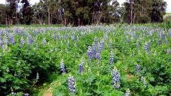 Presenta nueva variedad de Tarwi con alta calidad genética que incrementará rentabilidad del agricultor