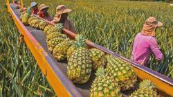 Producción colombiana de piña podría alcanzar 1,18 millones de toneladas este año