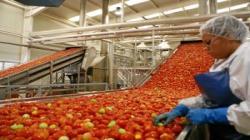 Producción de pasta de tomate en Ica creció 9.3% en 2019