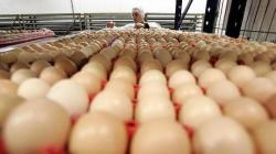 Producción nacional de huevos alcanzó las 497.525 toneladas en 2020