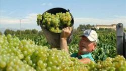 Producción nacional de uva aumentó 40% en diciembre de 2020