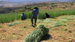 Productores agropecuarios altoandinos se beneficiarán con siembra de pastos en la campaña 2019/2020