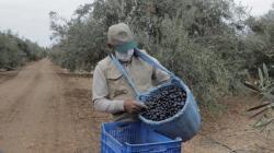 Productores de aceituna apuntan a nuevas variedades para mejorar cifras de exportación