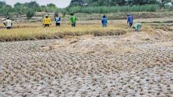 Productores de arroz de Piura perderían S/ 25 millones