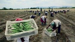 Productores de espárragos preparados para cumplir con requisitos fitosanitarios de exportación