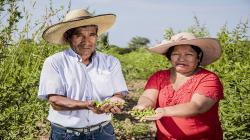 Productores de Lambayeque vendieron más de 40 toneladas de frijol de palo durante la cuarentena