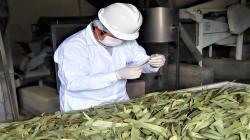 Productores del valle del Mantaro inician exportaciones de hojas secas de eucalipto hacia Alemania