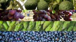 Productos peruanos con mayor potencial para ingresar a Australia son paltas, espárragos, uvas de mesa, arándanos y mandarinas