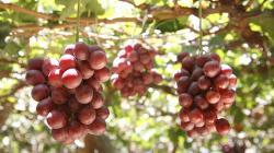 Provid celebra próxima superación de la barrera productiva de 50 millones de cajas de uva de mesa