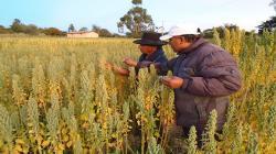 Proyectos de innovación y transferencia tecnológica mejoran rentabilidad de productores de quinua orgánica