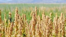 Quinua SmartApp, la plataforma inteligente para mejorar la producción de quinua