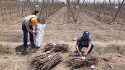 Recolectan cepas de vid para la propagación de uvas vineras en la provincia de Ica