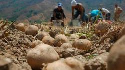 Regiones aplicarán el Marco Orientador de Cultivos para la campaña agrícola 2020-2021 con énfasis en papa, arroz y productos alternativos