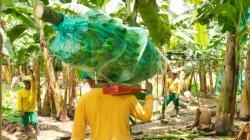 República Dominicana suspende importación de banano procedente de Perú y Colombia