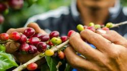 Reserva Comunal El Sira: buscan incrementar la producción de café orgánico