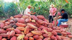 San Martín potenciará producción de cacao gracias al uso de hongos benéficos