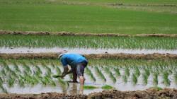 San Martín y Amazonas son las regiones donde más crece la siembra de arroz en Perú