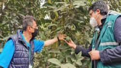 Se aprobaron requisitos sanitarios para exportar semillas y yemas de palta a Guatemala