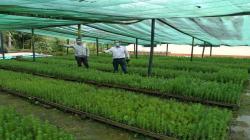 Sembrarán 400 mil plantones en 200 hectáreas de Cajamarca