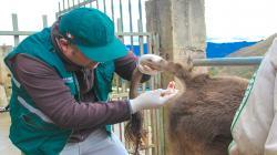 Senasa inició proceso de certificación de hatos libres de Brucelosis y Tuberculosis Bovina