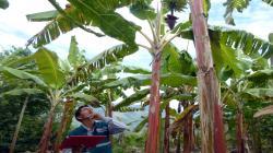 Senasa mantiene vigilancia fitosanitaria en cultivos de banano de comunidades nativas de Amazonas