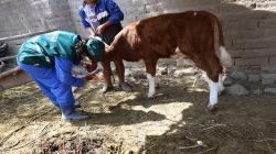 Senasa registra más 42 mil bovinos identificados en sistema de trazabilidad