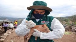 Senasa tiene programado vacunar a 5.404.489 cerdos contra la Peste Porcina Clásica este año